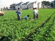 大根生育後の土を採取