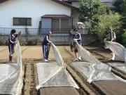土壌消毒後のビニール撤去作業