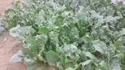 ホウレンソウケナガコナダニの被害(ハウス栽培)